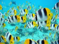 School_of_tropical_fish__tahiti_pictures_underwater_photos